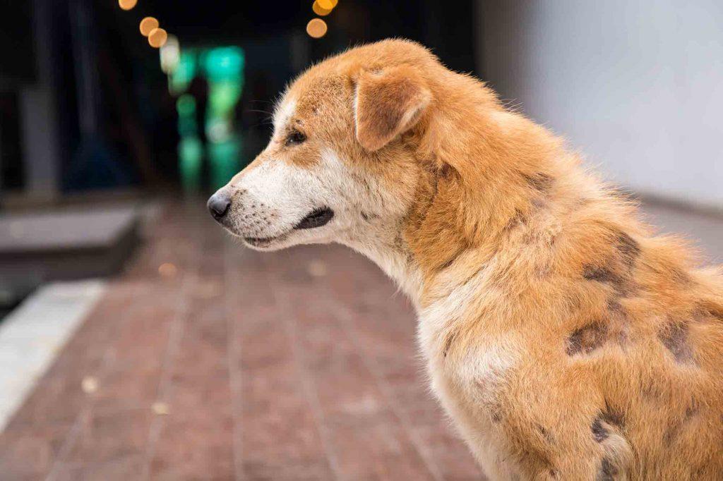 Dog With Mange