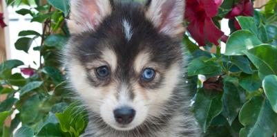 US Service Animals - All About the Pomsky | The Adorable Mix Between a Pomeranian & a Siberian Husky
