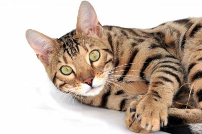 US Service Animals - All About the Savannah Cat Breed | Does This Exotic Cat Make  a Good Pet?