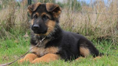 Miniature German Shepherd Breed Overview | Temperament & Personality